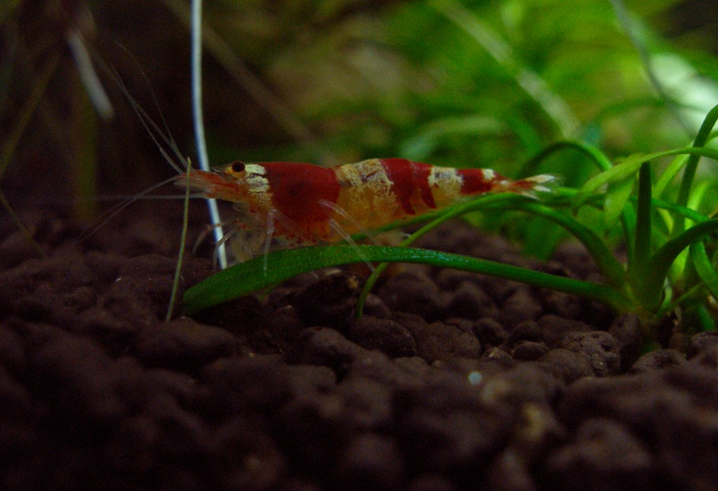 Let S See Your Shrimp Aquariums Page 14 The Planted
